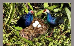 """Cà Mau: Đàn chim trích cồ """"đanh đá"""" ngắm mãi không chán ở rừng ngập mặn"""