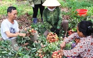 Đắk Lắk: Tiêu thụ 140 tấn vải thiều hỗ trợ nông dân trồng vải thiều tỉnh Bắc Giang