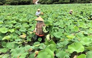 Ninh Bình: Nhân viên du lịch hái sen, gặt lúa để kiếm thêm thu nhập