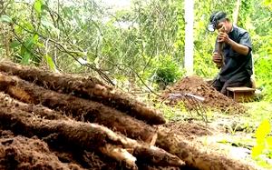 Bà Rịa – Vũng Tàu: Trồng loại khoai này một lần rồi đào củ bán mãi, anh nông dân lời 120 triệu đồng/sào