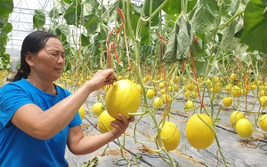 Thanh Hóa: Bão số 2 phá nát nhà màng, dưa vàng chín la liệt mà bán không ai mua, nông dân đến khổ