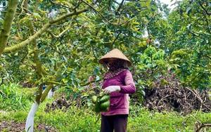 Bà Rịa – Vũng Tàu: Sau trái xoài, loại quả cao cấp này đang vào mùa nhưng giá tuột dốc không phanh