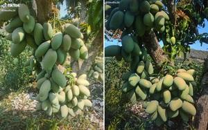 Hiếm có cây xoài bé tí mà sai trĩu hàng trăm quả, quả mọc từ gốc mọc lên thành từng chùm
