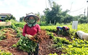 """Lâm Đồng: Trồng thứ cây quả """"chui"""" xuống đất """"biến"""" thành củ, bất ngờ là bóc ra thấy hạt """"chín"""" tím đen"""