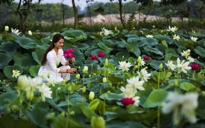 """Hà Nội: Khám phá """"thiên đường sen"""" tuyệt đẹp có gần 200 loài sen"""
