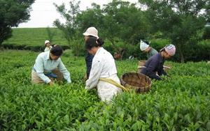 Nhiều người tin trà góp phần đề kháng Covid-19, giá chè xuất khẩu tăng mạnh, Việt Nam hưởng lợi lớn