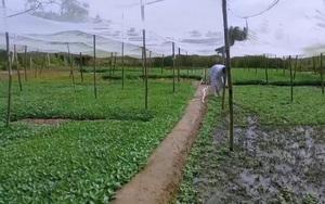 Cần Thơ: Lão nông phất lên từ mô hình trồng rau quế đất