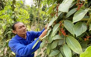 Giá tiêu lập mốc mới, nông dân xôn xao mua giống tiêu về trồng mới, chuyên gia lưu ý 9 điều này