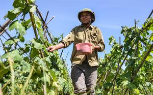 """Nông dân ngoại thành Hà Nội """"đội nắng"""" hơn 40 độ C thu hoạch nông sản và cải tạo đất"""
