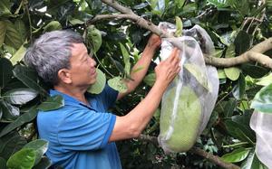 Đắk Lắk: Giá mít Thái rớt mạnh, bán không ai mua, chỉ nửa năm nông dân thiệt 500 triệu đồng/ha