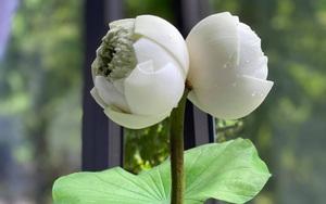 """Quý hiếm đóa hoa sen sinh đôi trông như """"biến dị"""", giá  300.000 đồng/cành vẫn nhiều người chờ được mua"""