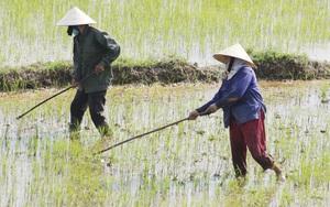 Ảnh: Nông dân Quảng Bình còng lưng cấy dưới cái nắng bỏng rát