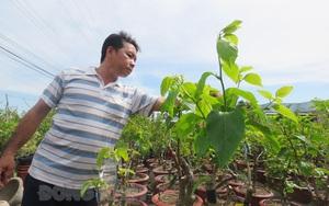 Chỉ trồng hoa giấy bán đi khắp nơi mà một anh nông dân tỉnh Bến Tre trở nên khá giả