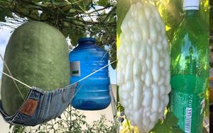 Ông bố 2 con ở Sài Gòn trồng toàn rau trái lạ có kích thước khổng lồ, bí 34kg, mướp đắng to bằng chai 1,5l