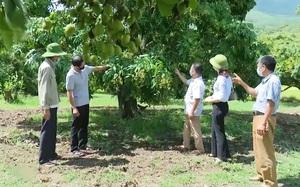 Sơn La chủ động tìm đầu ra cho nhãn Sông Mã khi mùa vụ thu hoạch đang đến gần