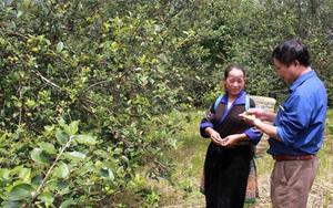 """Yên Bái: Nông dân vùng đất này trồng thứ cây dại gì tên nghe mỹ miều nhưng phải đi từ """"chua chát"""" đến hạnh phúc?"""