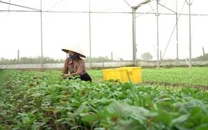 Bí kíp trồng rau baby trái vụ siêu năng suất của nông dân Thường Tín