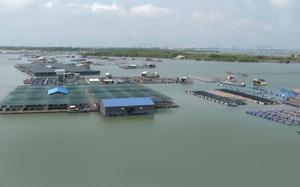 Bà Rịa - Vũng Tàu: Cá nuôi lồng bè không có người thu mua khi mùa mưa lũ đang tới gần