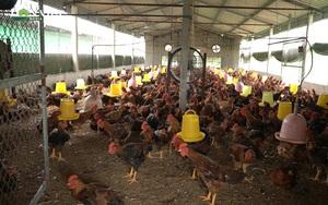 Hải Dương: Giá gà thịt tiếp tục giảm mạnh, nông dân tìm hướng đi mới