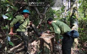 Vụ lâm tặc rầm rộ chuyển gỗ xuống núi: Xã chỉ quản lý 1 tiểu khu rừng tự nhiên, rừng vẫn bị phá tan hoang