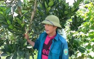 """Nghệ An: """"Lợi kép"""" từ trồng xen canh trong cây ăn quả"""
