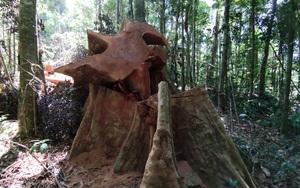 """Rừng bị phá """"tan hoang"""", chủ rừng vẫn không biết: Kiểm tra ban đầu phát hiện gần 12 khối gỗ"""