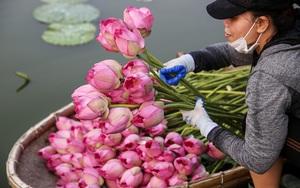 Người trồng sen hồ Tây tất bật thu hoạch, bán bao nhiêu cũng hết