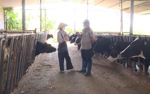 Lâm Đồng: Mô hình chăn nuôi bò sữa cho hiệu quả cao của bác sĩ thú y
