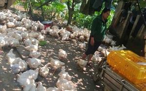 Giá gia cầm hôm nay 7/6: Giá gà công nghiệp sắp vượt mốc mới, vịt lông ở đây bán giá 100.000 đồng/kg