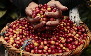 Giá cà phê chạm đỉnh 5 năm