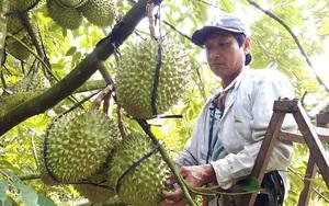 Dịch Covid-19: Người ngậm ngùi nhìn trái chín rụng khắp vườn, người lo bán tháo vì trở tay không kịp