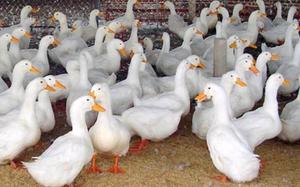Giá gia cầm hôm nay 8/6: Giá vịt miền Nam còn 34.000 đồng/kg, giá gà trắng đang tăng
