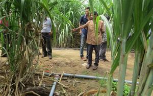 Phú Yên: Tưới nhỏ giọt cho ruộng mía, chẳng tốn công vỡ đất bỏ phân, mía lớn nhanh lại mập