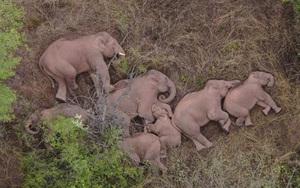 15 chú voi rừng nằm ngủ và lang thang tại Trung Quốc phủ kín mạng xã hội thế giới