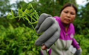 """Loại rau mọc hoang """"ngon - bổ - rẻ -lạ"""" ở miền Tây được mệnh danh là """"thần dược"""", chế biến vạn món ngon"""