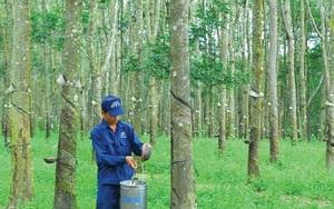 Cao su Đồng Phú đặt mục tiêu lợi nhuận lên 420 tỷ đồng, cổ tức tối thiểu 30% mệnh giá