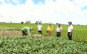 Cần Thơ: Trồng củ cải ven bờ đê, nguồn thu nhập đáng kể của nông dân vùng ven Vĩnh Thạnh