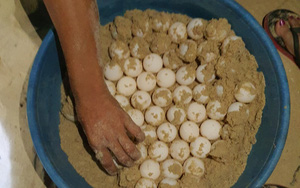 Bình Định: Phát hiện ổ trứng rùa biển hiếm gặp, gần 100 quả tròn vo nằm vùi dưới đất