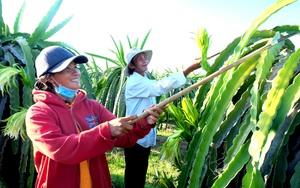Bình Thuận: Xuất khẩu thanh long vẫn khả quan giữa mùa Covid-19