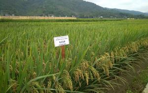 Lào Cai: Lai tạo thành công 2 giống lúa mới thích ứng với biến đổi khí hậu