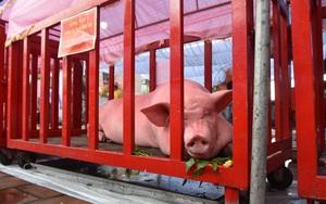 """Quảng Ninh: Những chú lợn trở thành """"ông Voi"""" được rước kiệu trong lễ hội đình làng Trà Cổ"""
