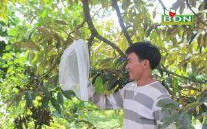 Đắk Nông: Kệ cho thiên hạ chạy theo sầu riêng hạt lép, vẫn trồng sầu riêng hạt chắc, ai ngờ lại dễ bán