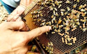 Long An: Nuôi ong mật hơn 1.000 tổ trong rừng tràm Đồng Tháp Mười, 9X kiếm bộn tiền
