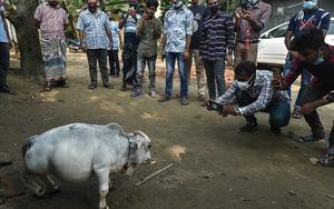 """Dân làng lũ lượt kéo nhau đến xem con bò bé nhất thế giới, chỉ cao 51cm, nặng 26kg, dài chỉ """"nhõn"""" 66cm"""