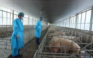 Giá lợn hơi thấp chưa từng có, tại sao giá thịt ở chợ vẫn cao?
