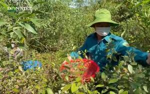 Theo chân người dân Nghệ An lên núi hái sim rừng kiếm tiền triệu mỗi ngày