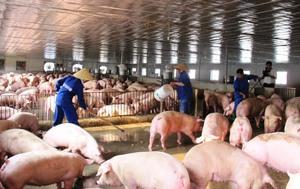 Giá thịt lợn hơi giảm mạnh, hộ chăn nuôi cần tính phương án sản xuất phù hợp