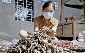 """Gia Lai: Vô rừng săn thứ mọc lạ dưới đất mà gọi là """"lộc trời"""", bán thành đặc sản kiếm tiền triệu mỗi ngày"""