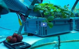 Trang trại dưới nước đầu tiên trên thế giới mở cửa trở lại trồng rau diếp và dâu tây