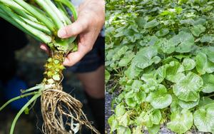 Trang trại trồng loại cây gia vị màu xanh lè có vị cay xộc đặc trưng, giá tới 3,6 triệu/kg không có mà bán